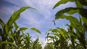 Ethanol production has a heavy water footprint