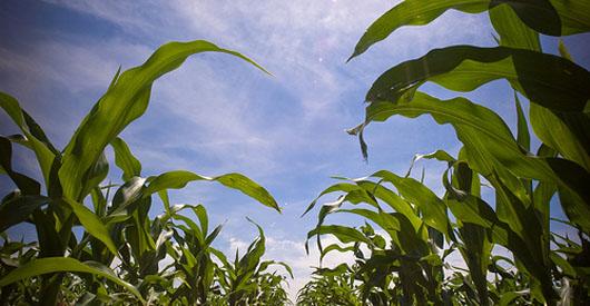 Biofuel's Heavy Water Footprint Threatens Regional Water Supplies