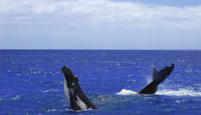 The International Whaling Commission may lift a 24-year ban on whaling this summer.