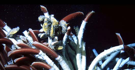 Hyrdothermal vents are teeming with marine life, such as giant tubeworms.
