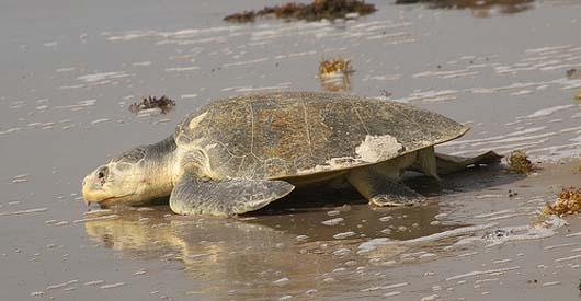 Oil Spill News: BP Burning Endangered Sea Turtles