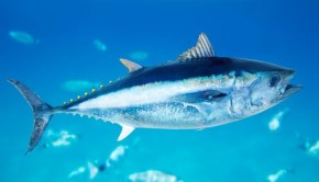 Bluefin Tuna in the Mediterranean