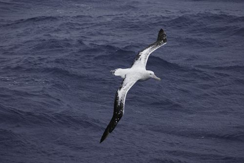 Wandering albatross flying over the Atlantic Ocean