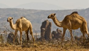 Camels in the Somali Desert