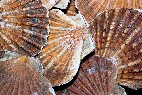 Coughing Scallops Key to Water Quality