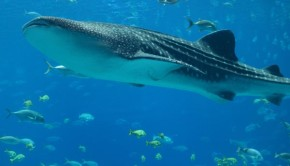 Whale Shark with Fish