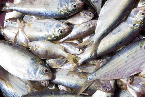 Pacific Bluefin Tuna Stocks Down 96.4%