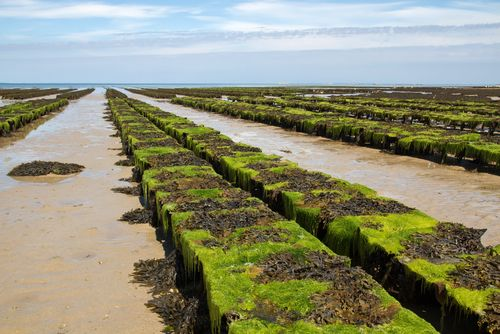 UK Oyster Beds