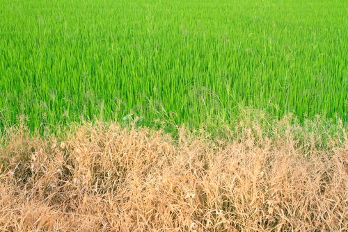 Dried Grass and Green Rice Plant in Paddy