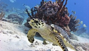 Turtle Swimming in the Coral