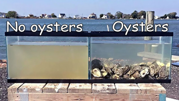 Did You Know:  More Oysters Means Better Water?